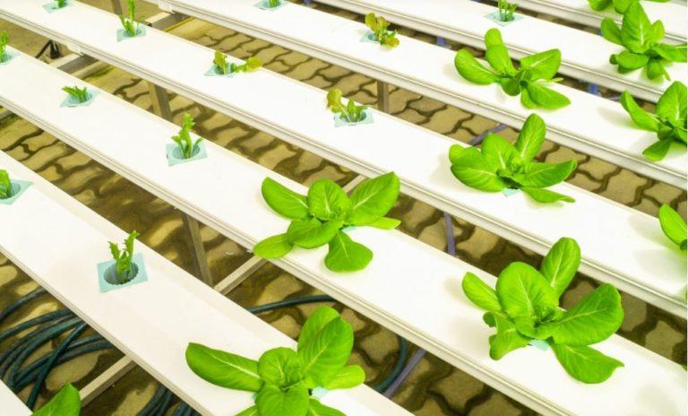 bisnis-tanaman-hidroponik